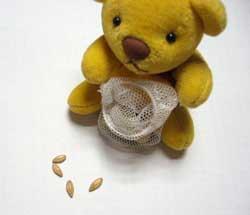 もらった大麦の粒